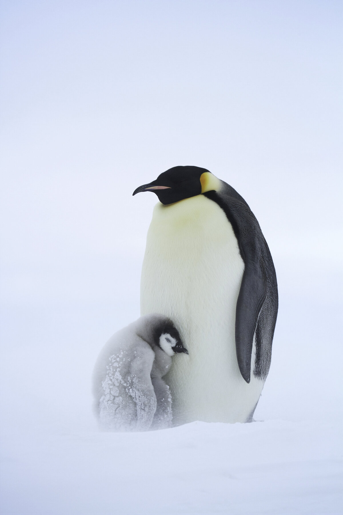 Chick huddles against parent during a snow storm