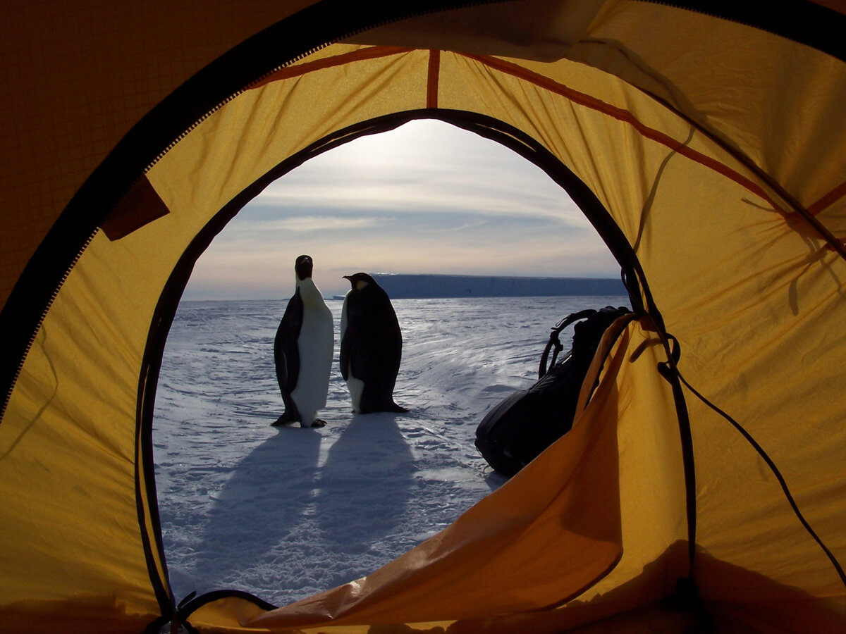 Curious penguins stand outside guest tent