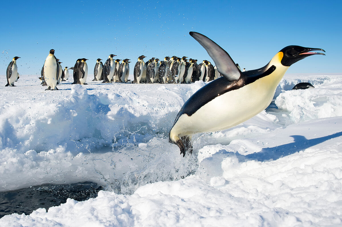 Emperor penguin shoots out of the water at a lead