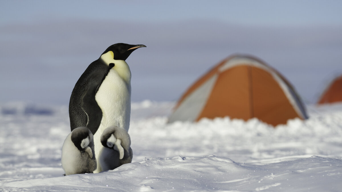 An emperor penguin parent stands guard over two sleeping chicks