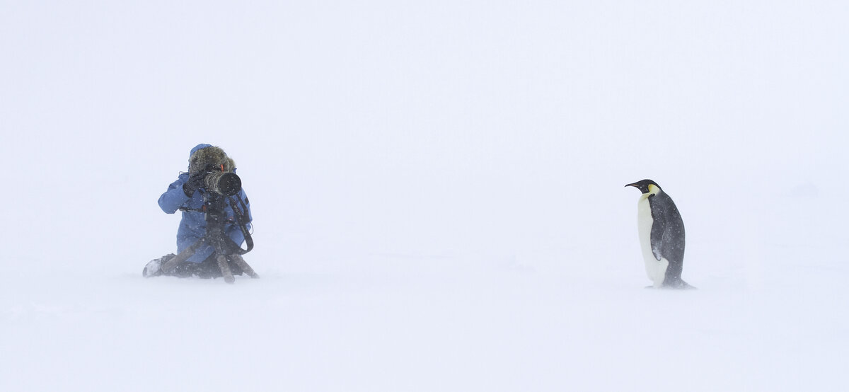 Photographer captures a single adult emperor in a snow storm