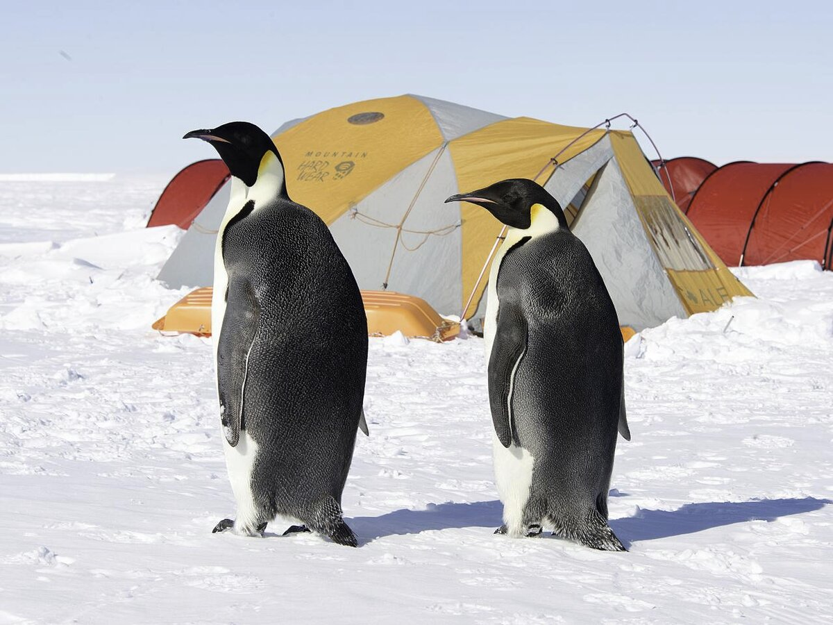 Penguins inspect the guests' sleeping tents