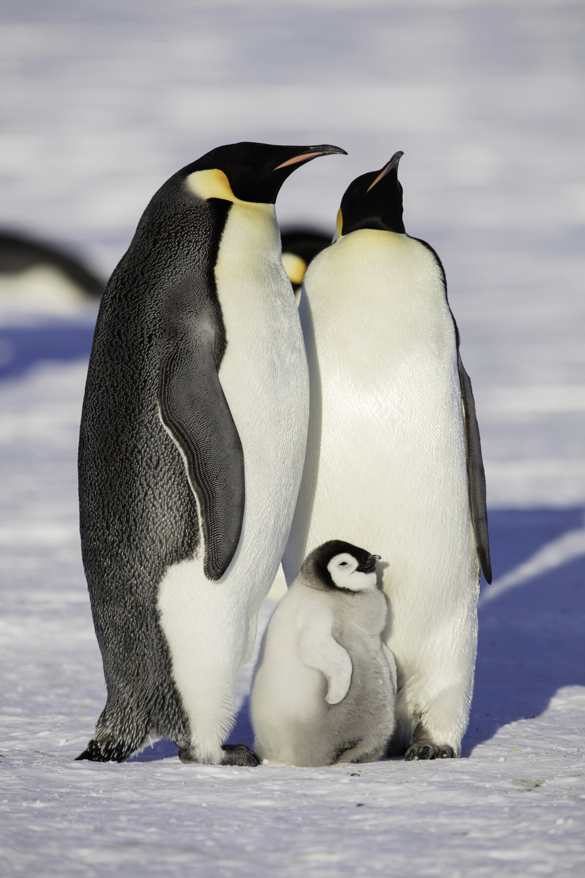 Chick stands between the feet of two adult emperor penguins