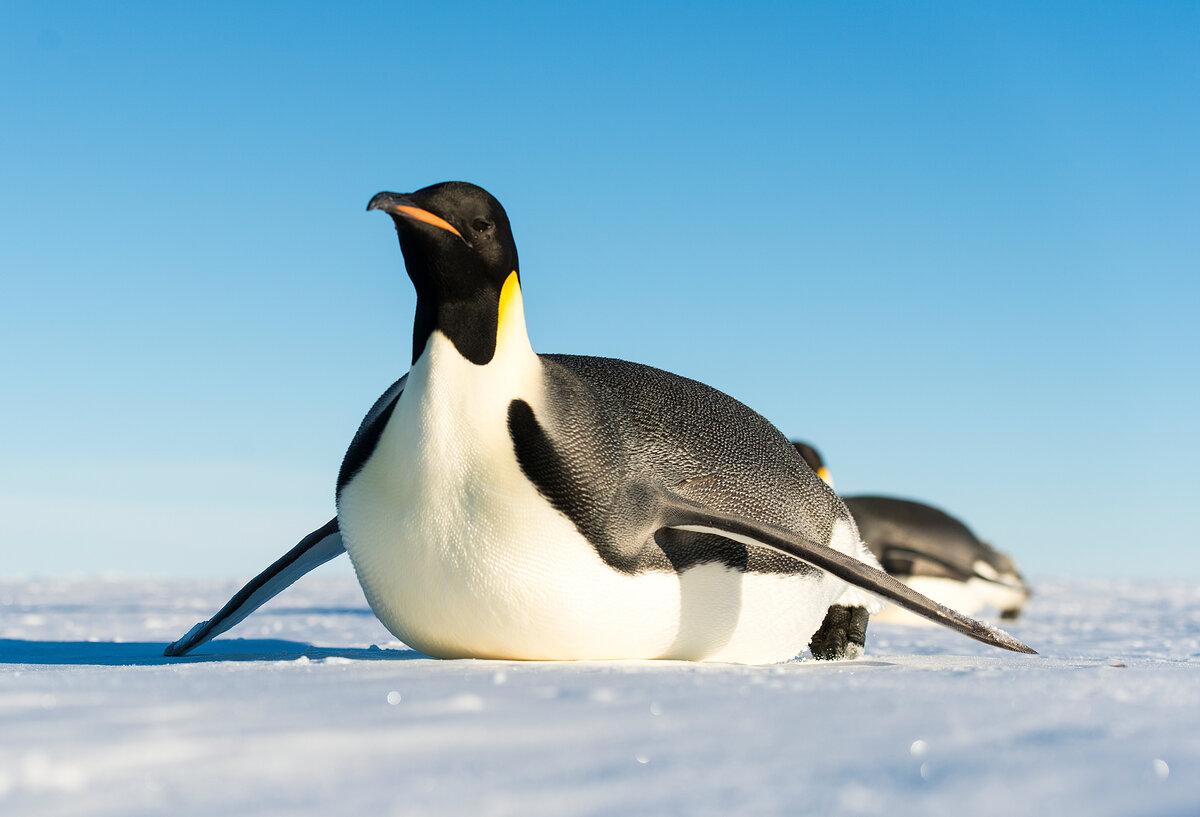 Emperor penguins toboggan across sea ice