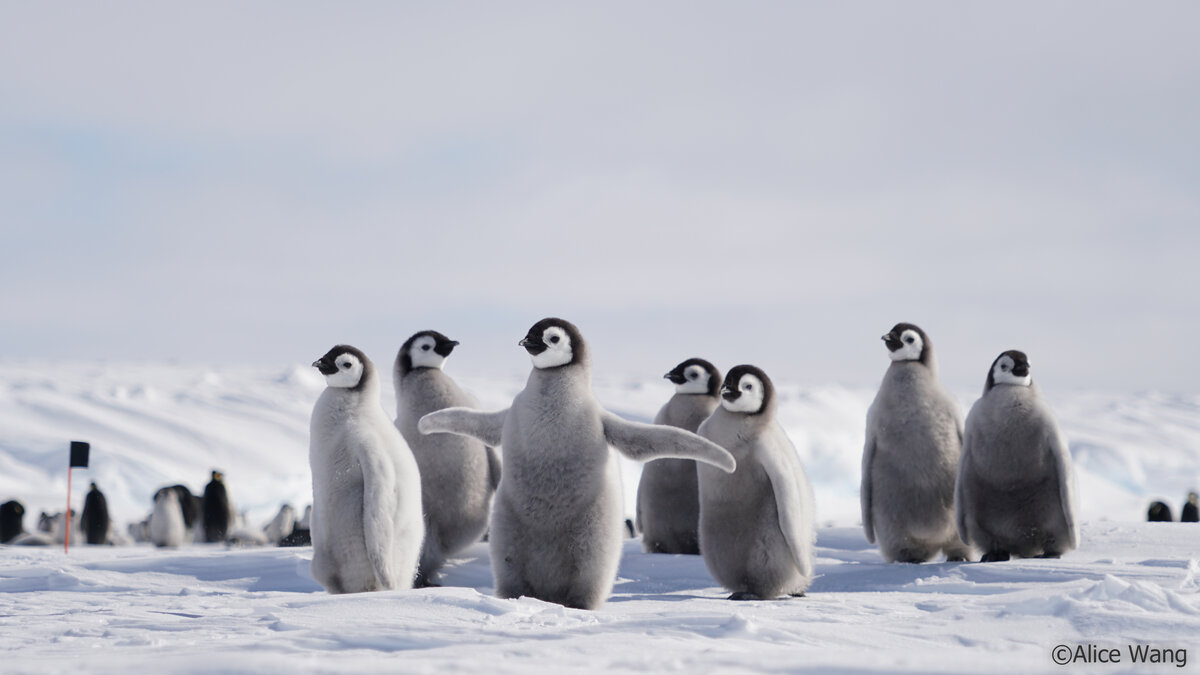 Emperor penguin chick flaps its wings