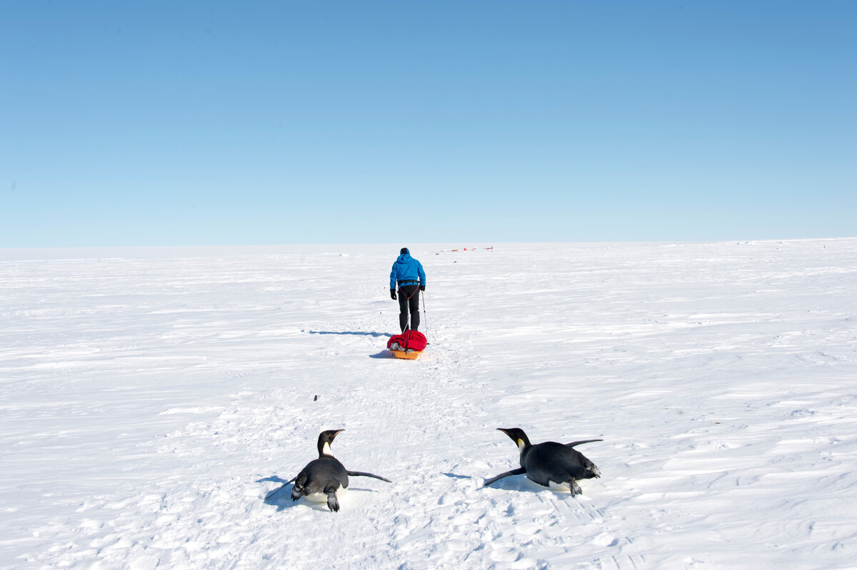 Two penguins toboggan across sea ice, following a guest