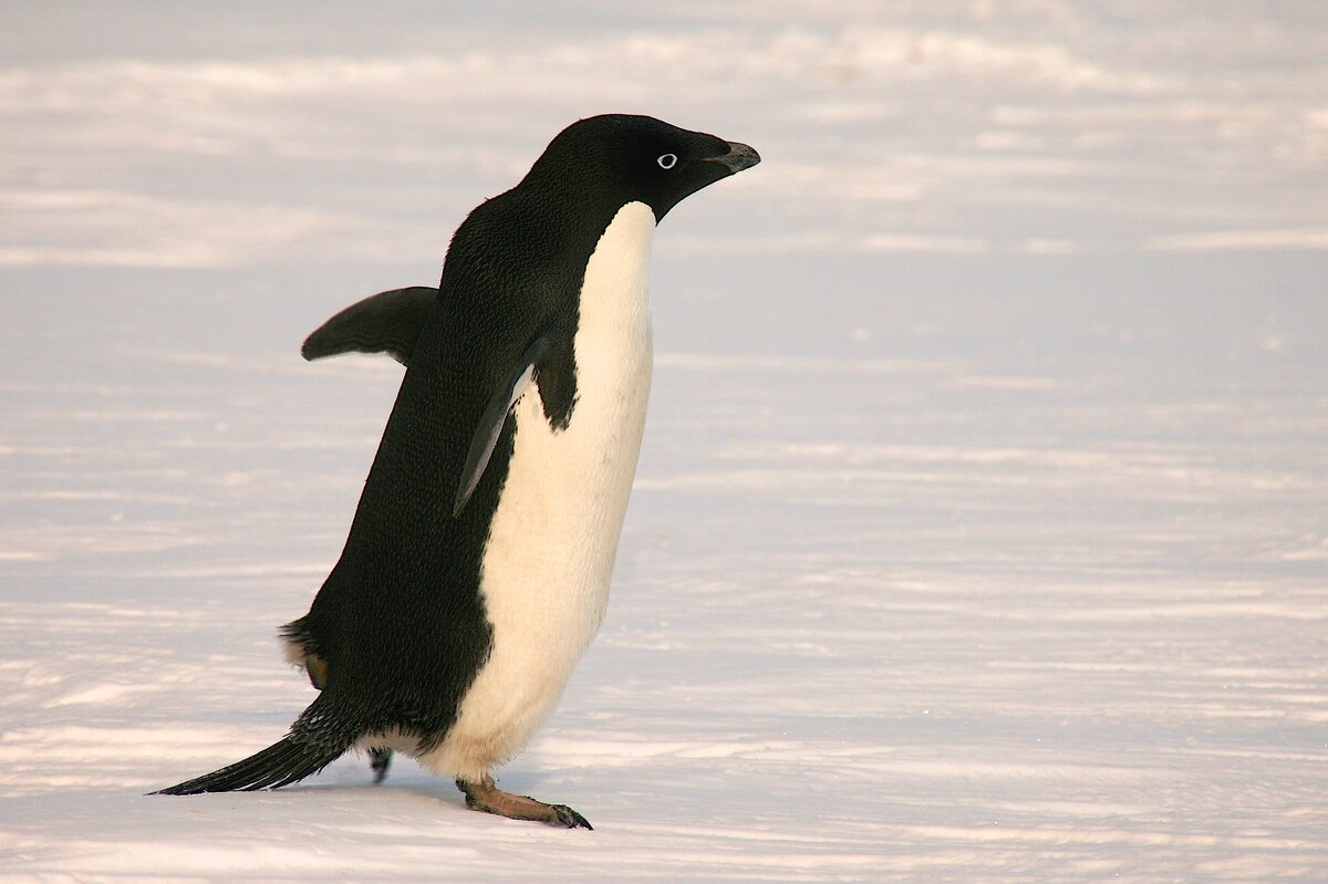 Adelie penguins are among the most southerly distributed seabirds