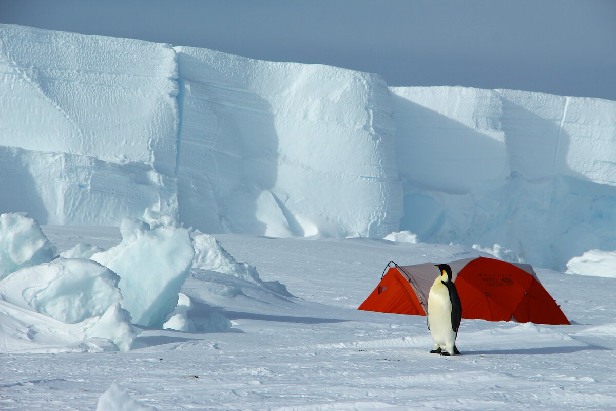 A penguin wanders past a guest's sleeping tent